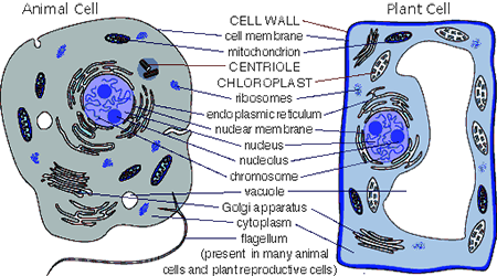 Differences between Plant Cell and Animal Cell