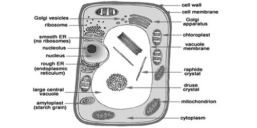 Explain Structure of Typical Cell