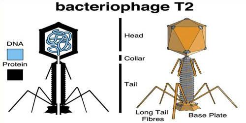 T2 Phage Virus
