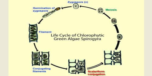 Alternation of Generation with labelled diagram Life Cycle of Spirogyra