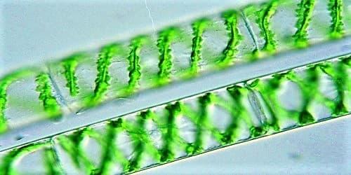 The Characteristics and Habitat of Plant Spirogyra