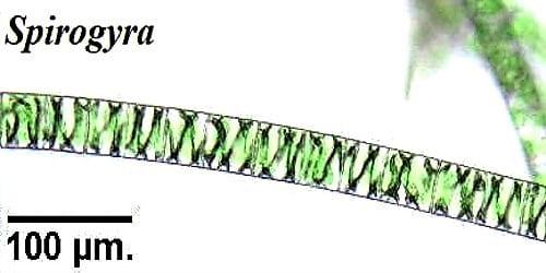Description of Spirogyra