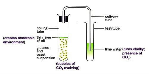 Experiment of Anaerobic Respiration