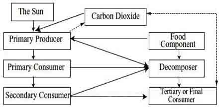 Food Web of Ecology