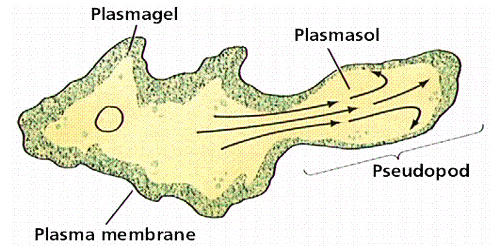 Locomotion: Movenment of Amoeba
