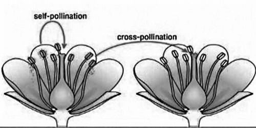 Differences between Self-pollination and Cross-pollination