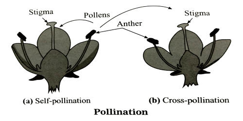 Significance of Self-pollination