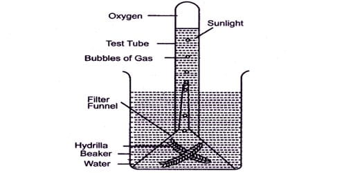 Experiment to Demonstrate: Oxygen is Evolved during Photosynthesis