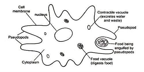 Reproduction of Amoeba
