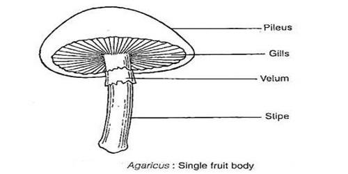 Describe on Agaricus