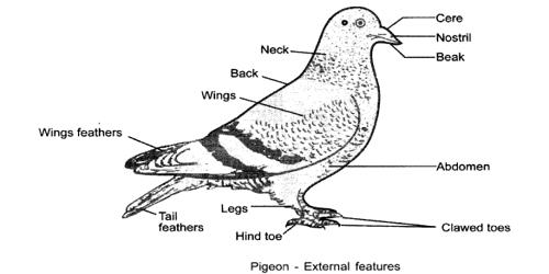 External Features of Pigeon
