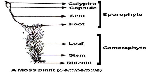 labelled diagram of Sporophyte of Moss