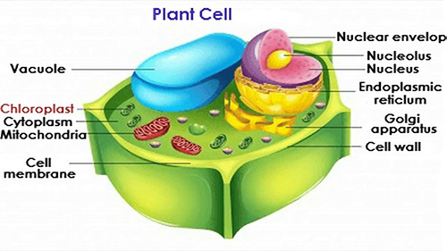 Characteristics of a Plant Cell