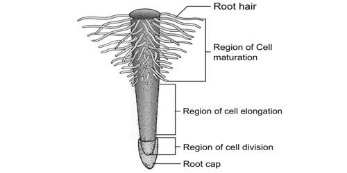Describe Regions of the Root