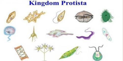 Explain Slime Moulds of Kingdom Protista