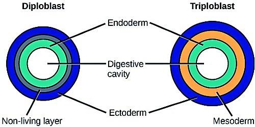 Diploblastic and Triploblastic Organization