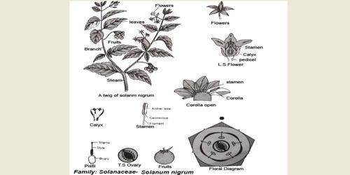 Identifying Characteristics of the Family Solanaceae