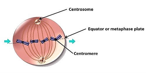 Differences between Centrosome and Centromere