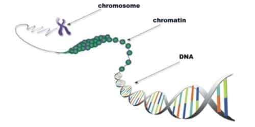 Define Chromatin Fibre