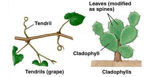 Explain Modifications of Leaves