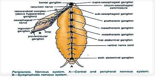 Explain Nervous System of Cockroach