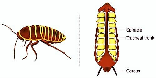 Respiratory System of Cockroach