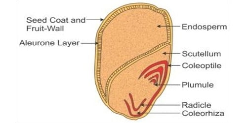 Structure of Monocotyledonous Seed