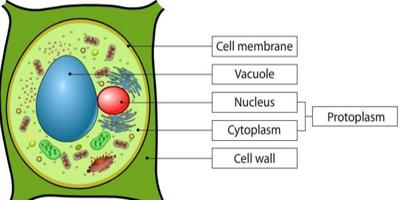 What is Protoplasm?