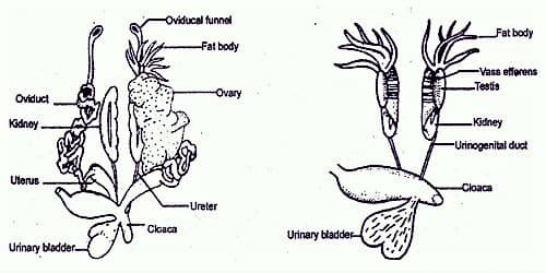 Explain Frog Female Reproductive System