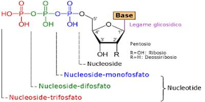 What is Nucleoside?