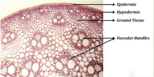 Mention the Identifying Characteristics of Internal Structure of Monocot Stem