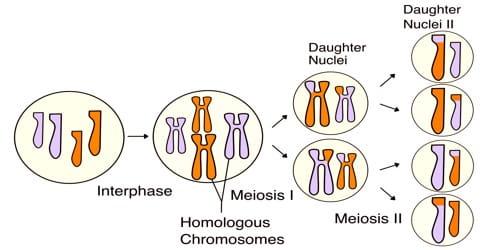 Characteristics of Meiosis
