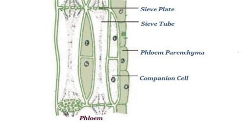 What is phloem tissue? Describe different types of Phloem Tissue