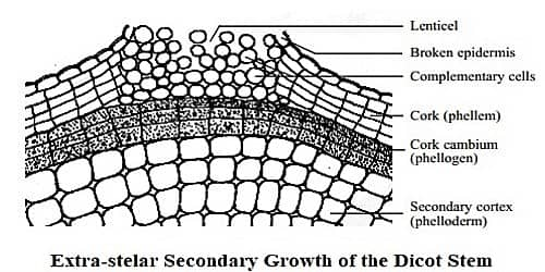 Describe Extra-stelar Secondary Growth of the Dicot Stem