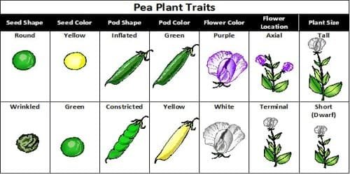 Why did Mendel Select Pea-plant for his Experiment?