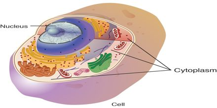 What is Cytoplasm?