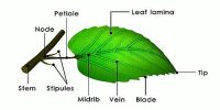 Different Parts of Leaf