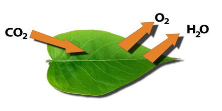 Functions of Leaf