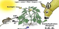 Significance of Photosynthesis Process for Animal World