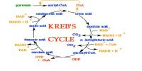 What is Kreb's Cycle?