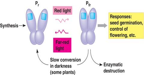 Role of Phytochrome Pigments in Flowering