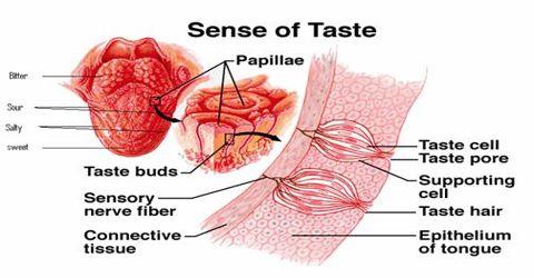 Tongue: Sensory Organ
