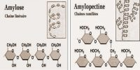 Difference between Amylose and Amylopectin