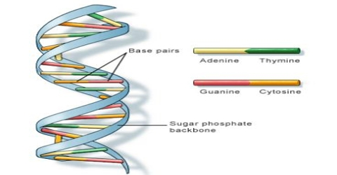 DNA (Deoxyribonucleic Acid): Definition and Structure