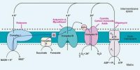 Electron transport system or Oxidative Phosphorylation in Plants