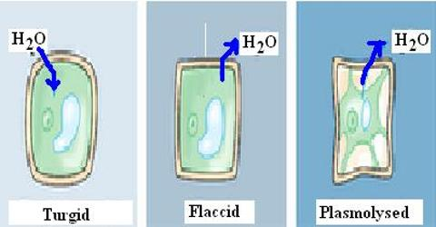 Plasmolysis in Plants