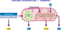 How many Stages are there in Aerobic Respiration?