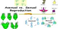 Difference between Asexual Reproduction and Sexual Reproduction