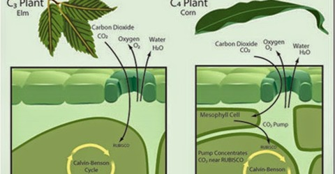 What do you mean by C3 and C4 plant?