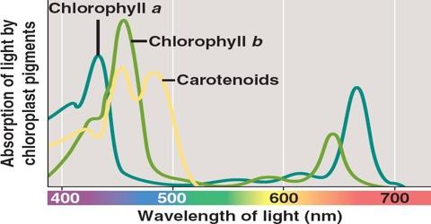 Chlorophyll Pigment